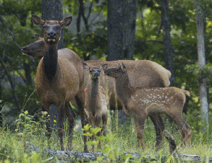 Cow elk with their newborn calves relocated to Tennessee from Elk Island National Park