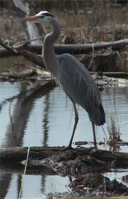 Great Blue Heron - often seen near the shore of any pond or lake