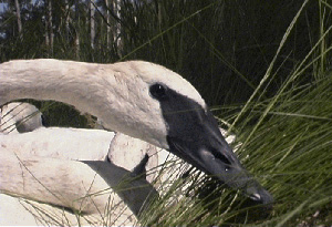 Three adult trumpeter swans ready for relocation