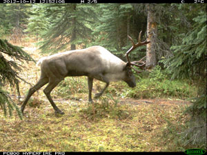 Caribou bull caught on remote camera