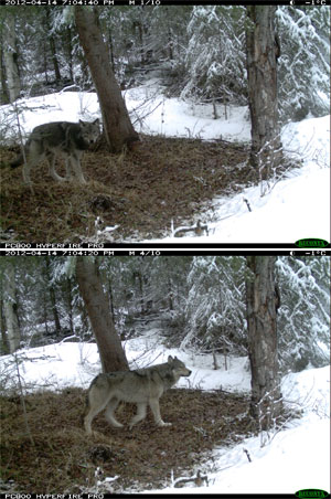 Wolf caught on remote camera