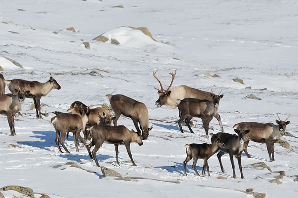 Woodland caribou in Jasper National Park