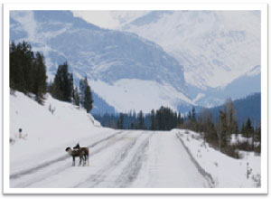 Caribou on Highway 93