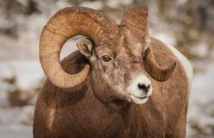 Bighorn Sheep © BluePeak Travel Photography