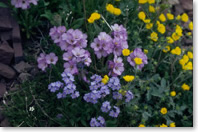 Several kinds of showy, low growing alpine flowers