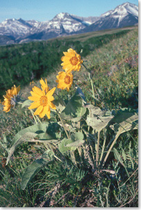 Large, yellow balsamroot flowers on a mountainside
