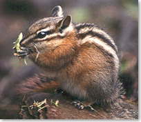 Chipmunk eating a plant