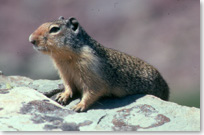 A rusty coloured columbian ground squirrel on a rock