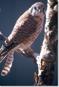 Close-up image of an American kestrel on a branch