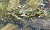 Northern Leopard Frog in a pond
