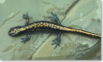 Close-up of a long-toed salamander