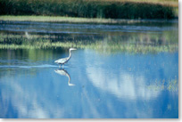 A great blue heron stands quitely in the Maskinonge marsh