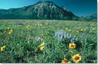 Variety of wildflowers blooming on the prairie, with Vimy Mountain in he background
