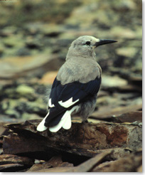 Close-up of a Clark's nutcracker