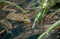 Spotted Frog in water