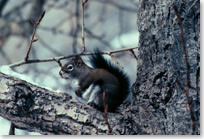 Red squirrel sitting in crux of a tree branch