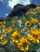 Balsamroot plants in Waterton