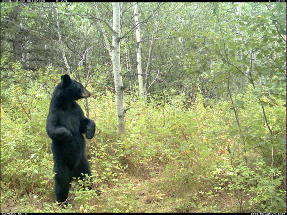 Black bear standing, Waterton Lakes National Park