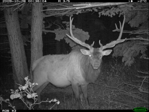 Bull elk night, Waterton Lakes National Park