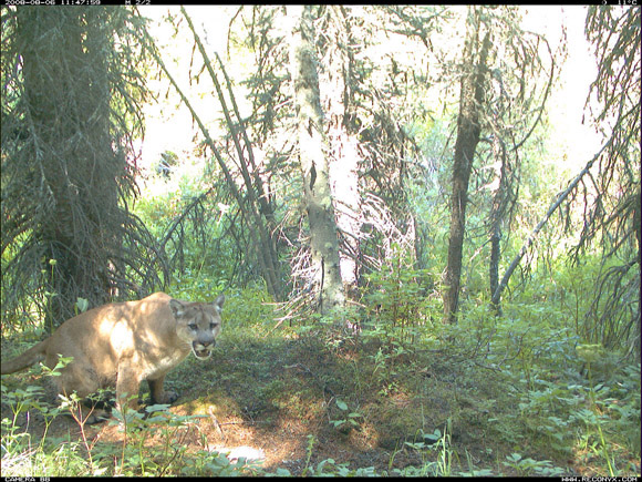 Cougar, Waterton Lakes National Park