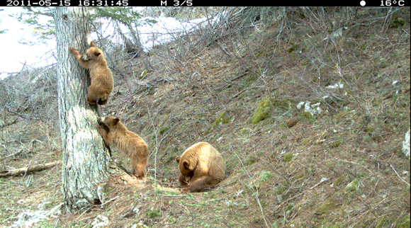Black bear, mother and cubs