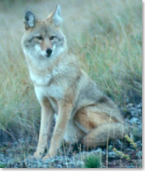 Coyote sitting on hillside