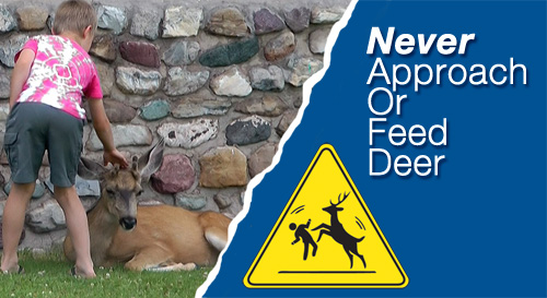 Never Approach or Feed Deer