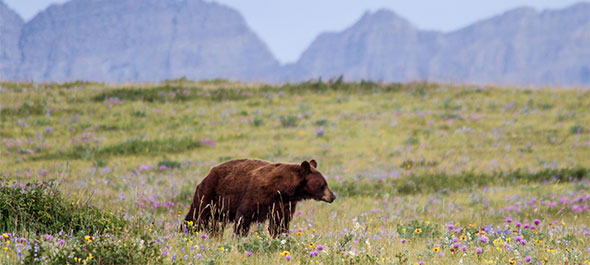 Black bear on the prairie