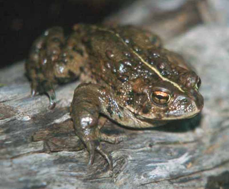 Closeup of a Western Toad on a log