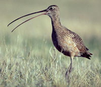 Closeup of a Long-billed Curlew