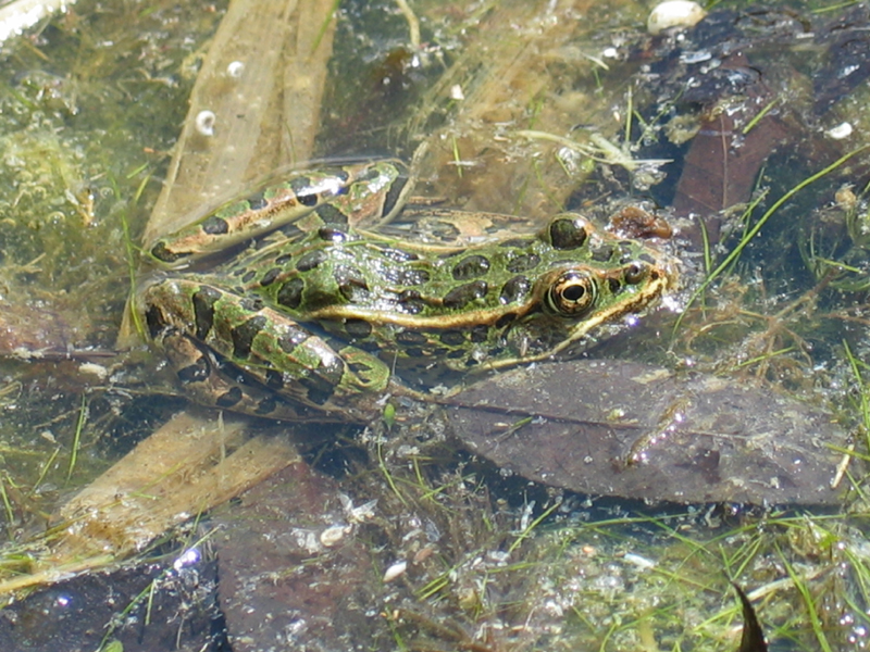 Closeup of a Northern Leopard Frog in a pond