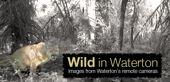 Wild in Waterton: Images from Waterton's remote cameras