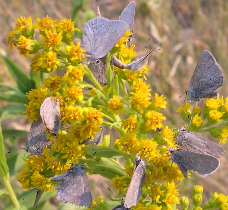 A group of Halfmoon hairstreaks on goldenrod flowers
