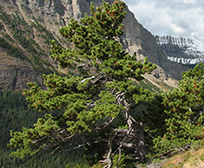 A Whitebark Pine tree