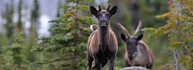 Conservation Strategy for Southern Mountain Caribou