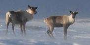 Seasonal closures for caribou conservation