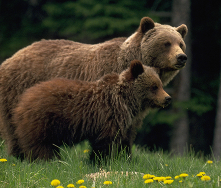 Female grizzly bear with her offspring © Terry Willis