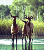 Three elk standing in a pond