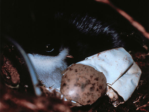 Ancient Murrelet chick