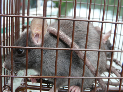 Black rats trapped in Gwaii Haanas during the population assessment phase of project