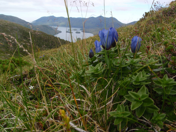 Broad-petal gentian in the alpine