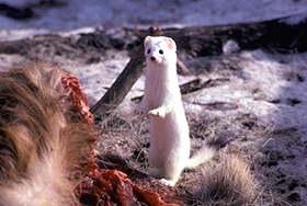 Ermine in winter coat