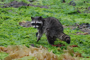 A raccoon in the intertidal zone