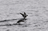 Ancient Murrelets taking off