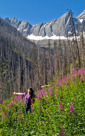 Fireweed in bloom © Parks Canada