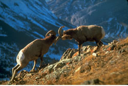 Two bighorn sheep rams knock horns on a rocky, grass slope silhouetted against blue, snowy mountains.