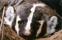 American badger Taxidea taxus jeffersonii