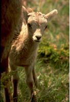 A close-up view of a small bighorn sheep lamb peeking around its mum's front flank.