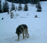 Remote camera captures wolves feeding on a carcass © Parks Canada
