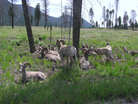 Bighorn sheep in the Redstreak Restoration area © Parks Canada